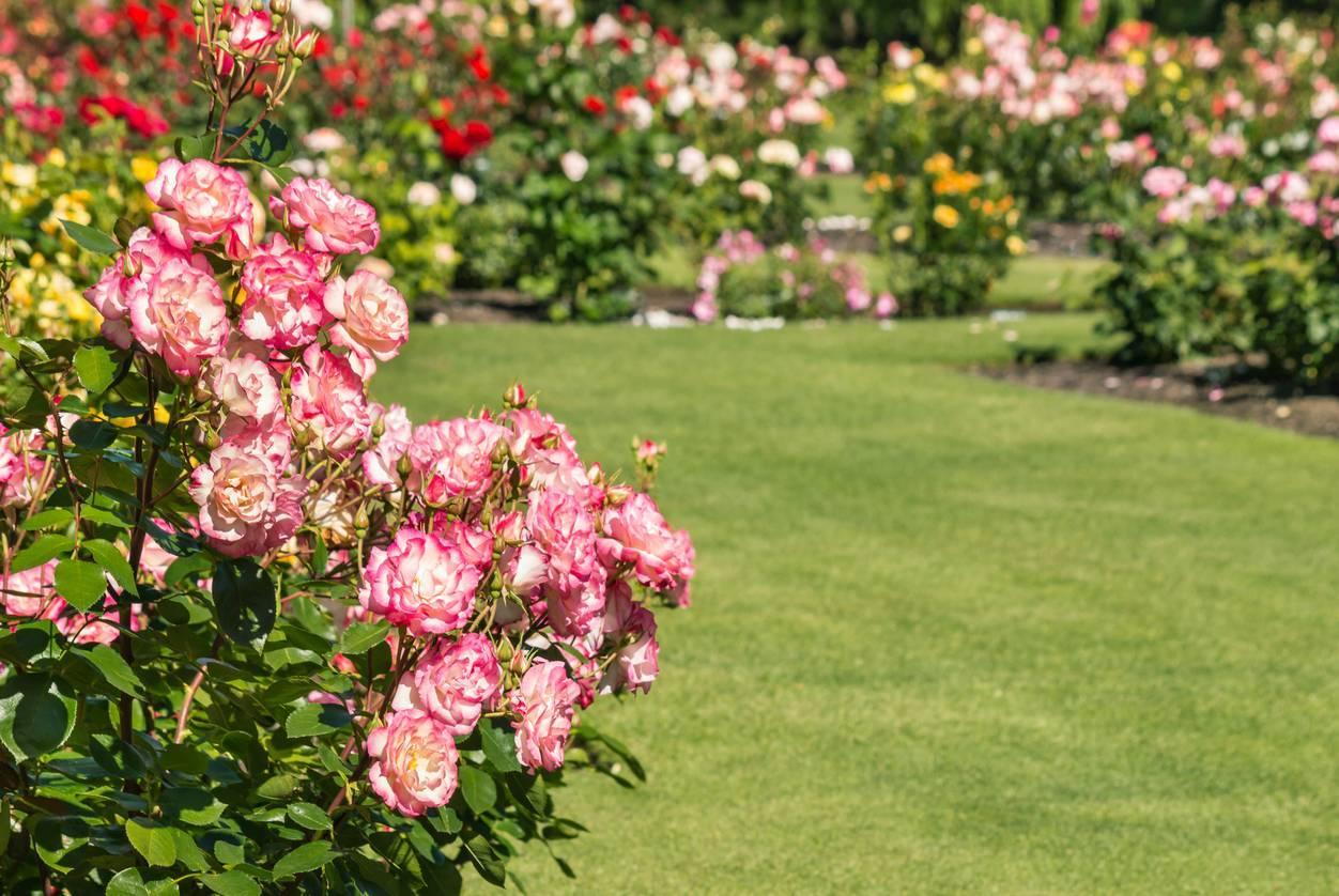 une roseraie en Gironde
